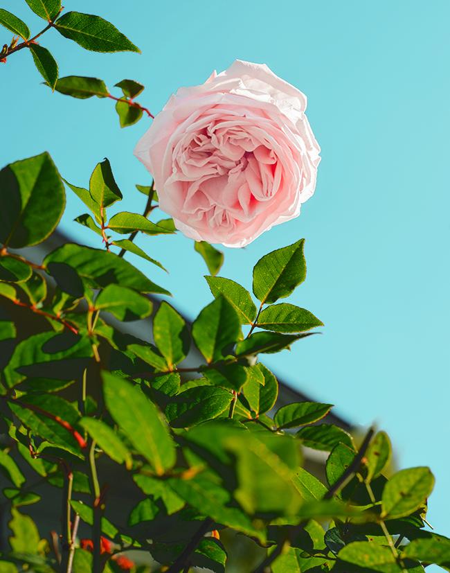 ピンクの薔薇と空
